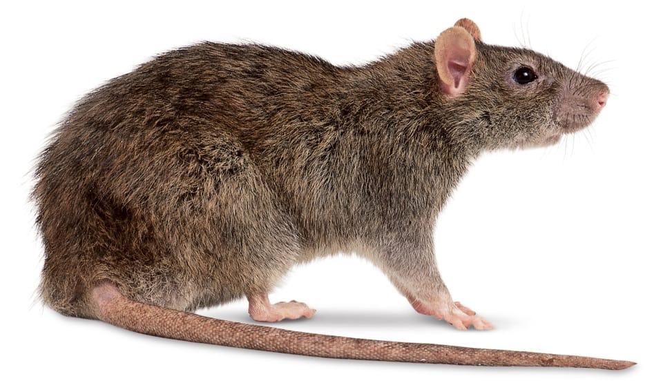 Curiosidades sobre os Ratos